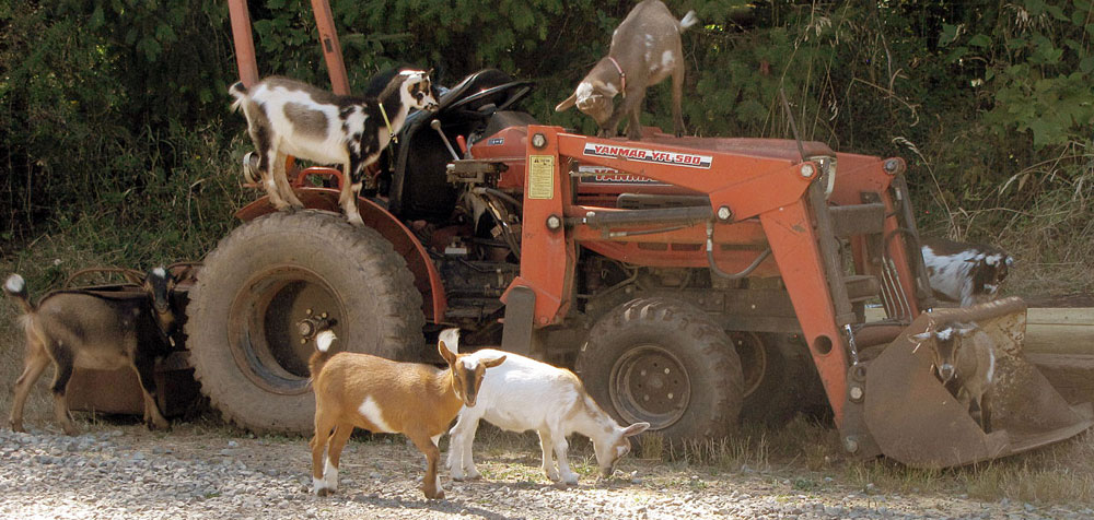 goats working on the tractor
